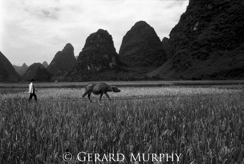 Walking the Cow, Yangshau