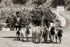 Herding, Kinnaur