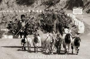 Herding, India