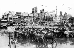 Driven to Slaughter, Kolkata
