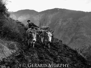 Ploughing, Kullu Valley